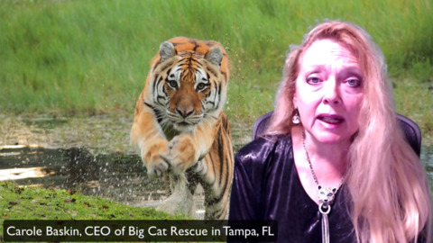How Big Cat Rescue is keeping tigers, lions safe during COVID-19