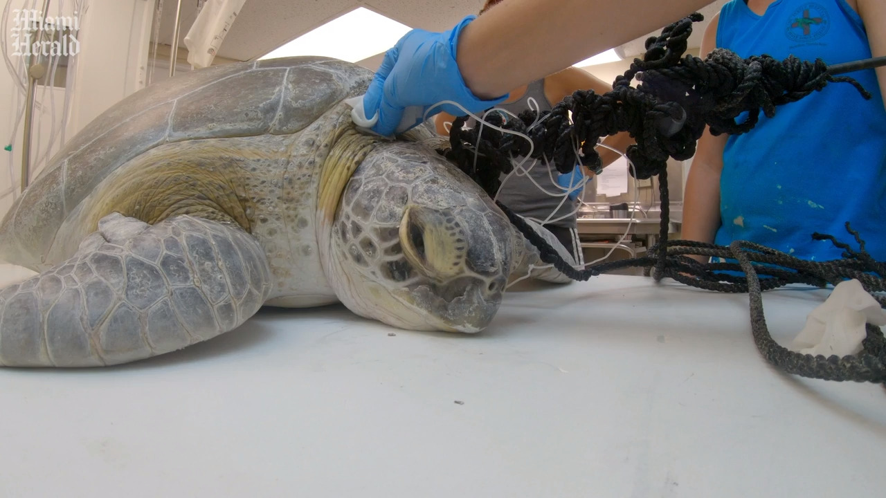 Green sea turtle found shot with a spear off Florida Keys