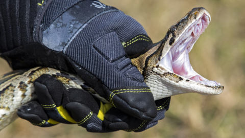 A record number of pythons were removed from the Everglades this year. That's the good news