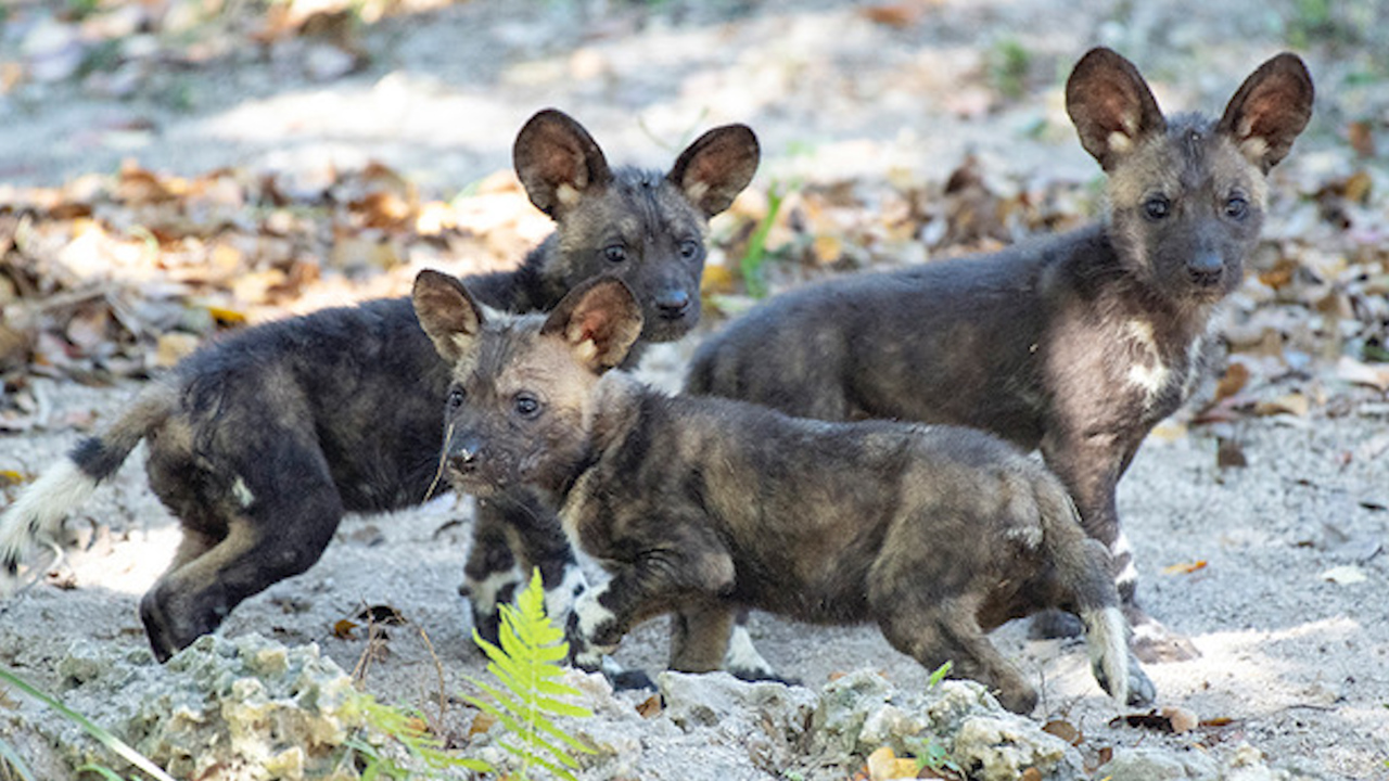 Endangered painted dog killed at Zoo Miami by 'guillotine door failure'