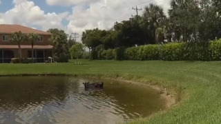 Cow cools off in Florida pond