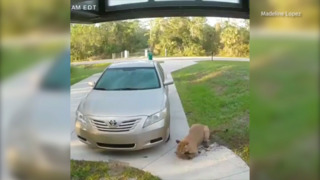 Florida panther attacks pet cat in the homeowner's front yard