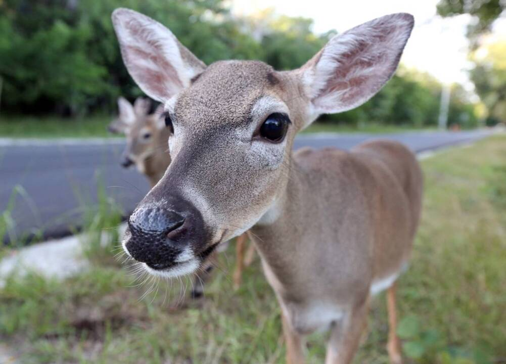 Will Key deer come off endangered list? Not if these people can help it