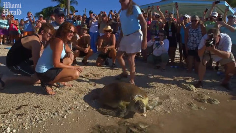 This turtle was speared through the neck. After recovering, she returned to the sea.