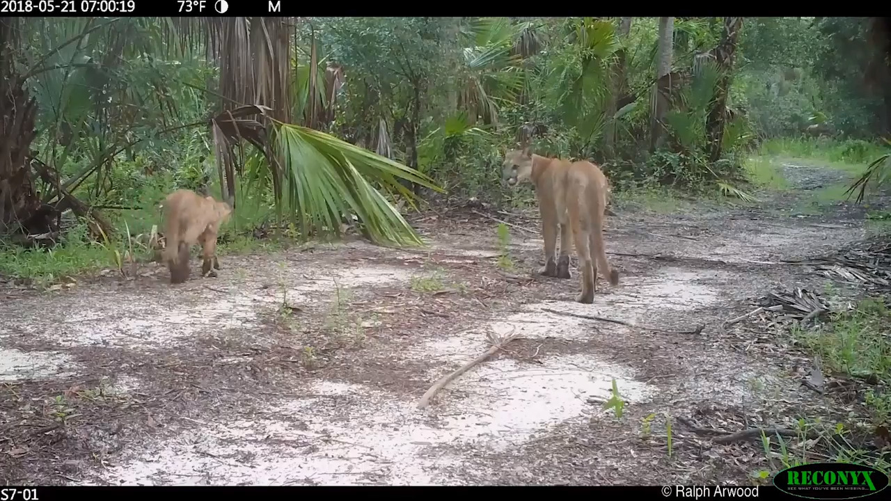 What's affecting some Florida panthers' ability to walk? It's a mystery