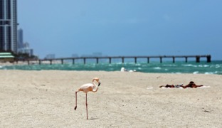 Flamingo makes rare appearance on Florida beach better known for nude sun bathing