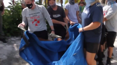 Manatee 'Minnow' sent back to sea in the Keys