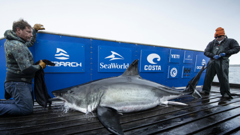 Remember the shark from 'Jaws'? His 1,100 pound relative was tracked off Florida Coast