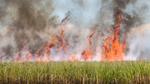 Sugar growers typically burn cane fields to speed up the harvest process. Residents and environmentalists are concerned
