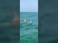 Florida woman films hammerhead shark attacking tarpon in Florida