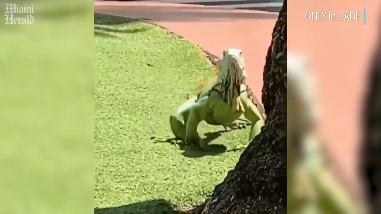 What's that green 'monster' strolling on Lincoln Road? Watch mega iguana action