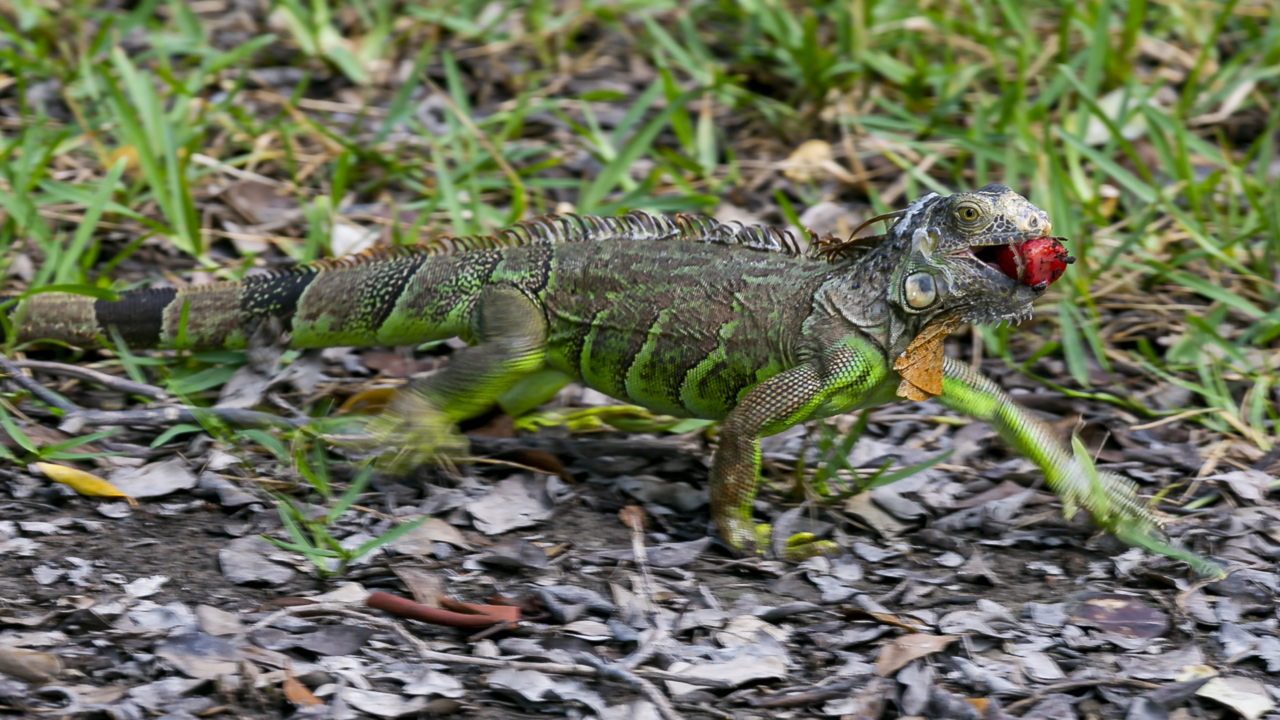 Iguana population and damage booms. Florida's not sure what to do about it