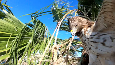 Hawk rescued from Miami palm tree