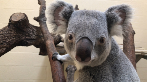 Watch Zoo Miami's Milo get his check-up. The cuddly koala is about to get a mate.