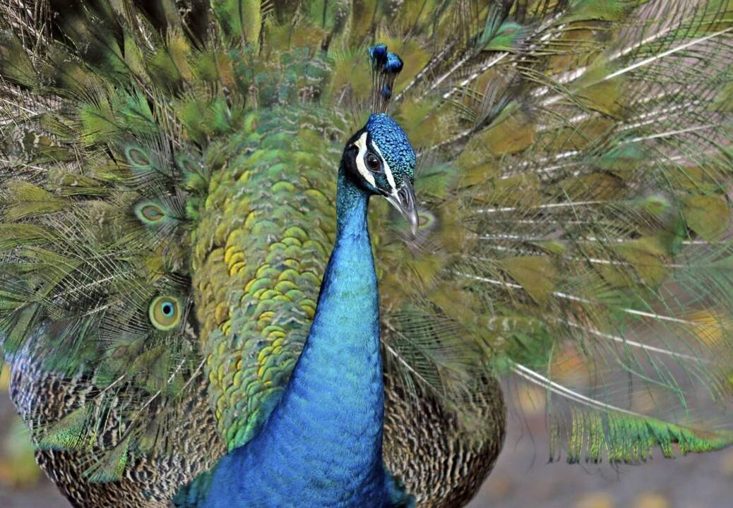 'How could someone be that evil?' Driver ran down wild peacocks, Los Angeles cops say