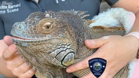 This iguana isn't like the others. He went missing, and now he's getting love again
