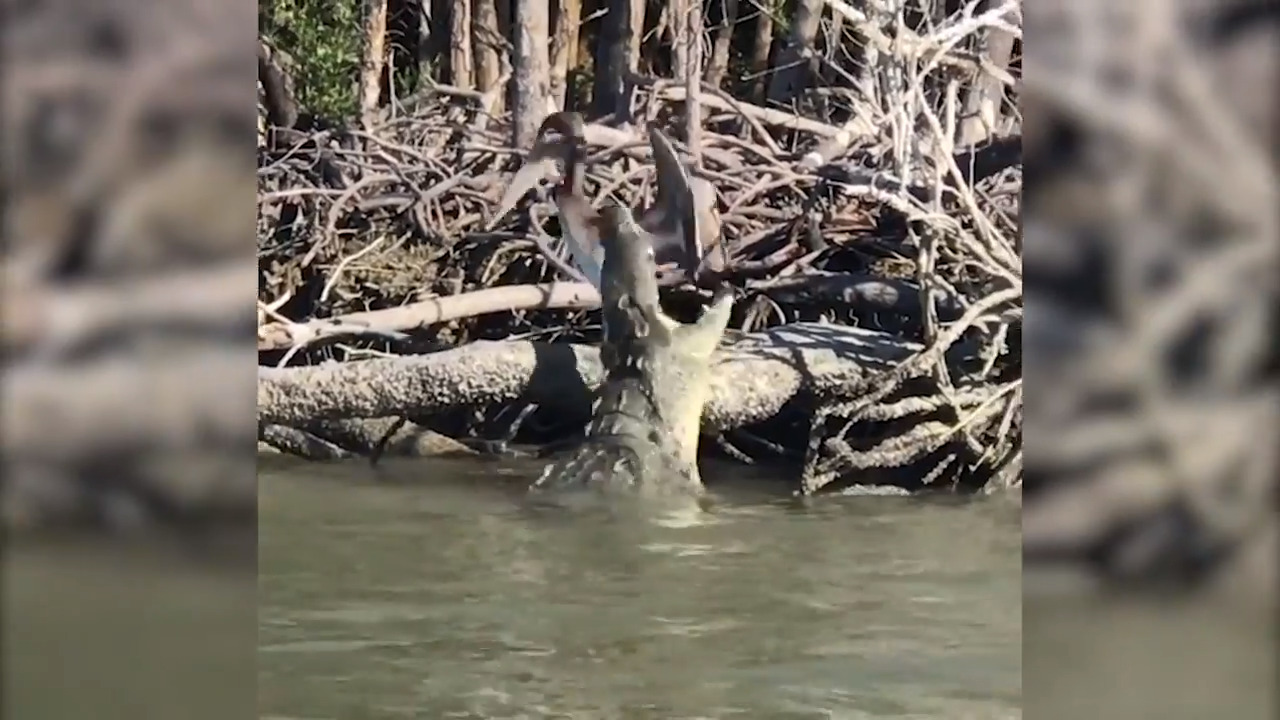 A hungry crocodile wanted to ambush a pelican in the Everglades. His technique needs work