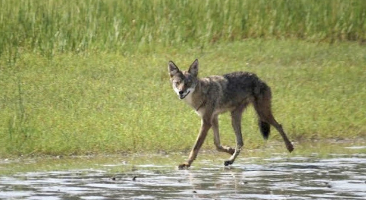 Wildlife sighting in Florida village prompts warning: 'Coyotes may not be into selfies'
