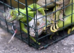 Iguana wrangler traps invasive reptiles across South Florida