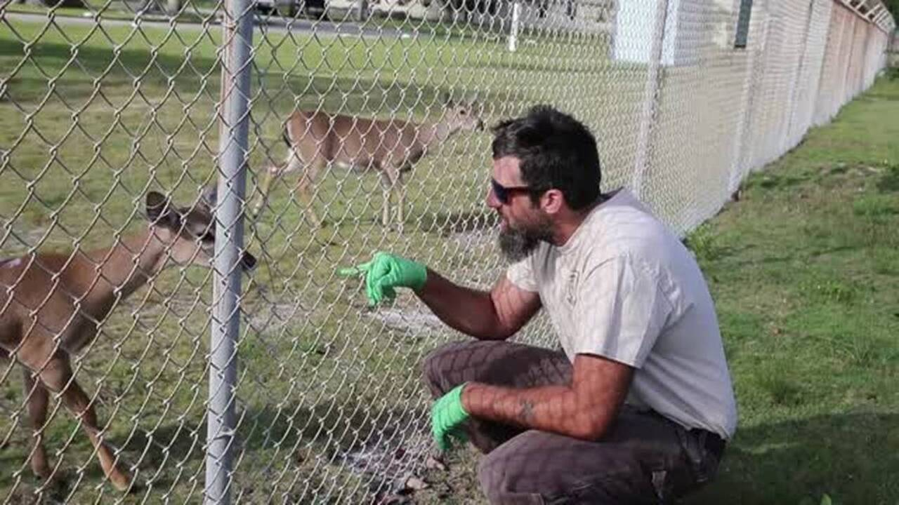 Key deer may lose endangered species protection. Less than 1,000 live in the Lower Keys