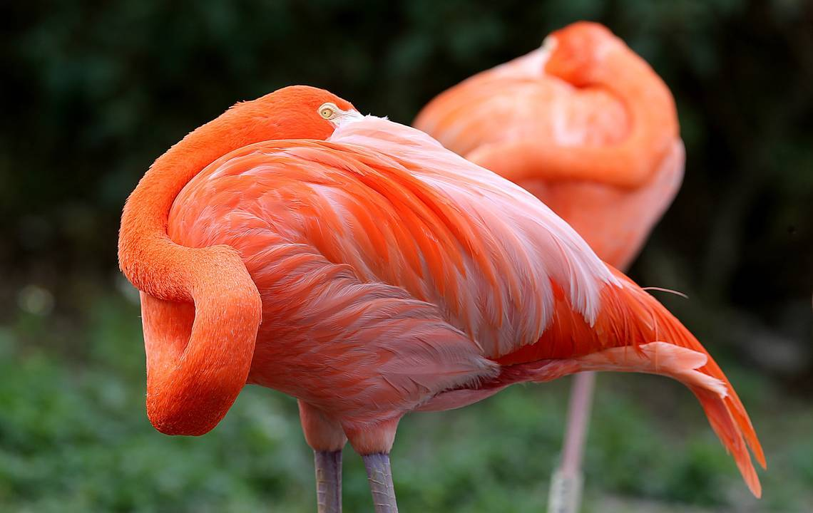 Are Flamingos Native To Florida Scientists Solve Century Old Mystery Miami Herald