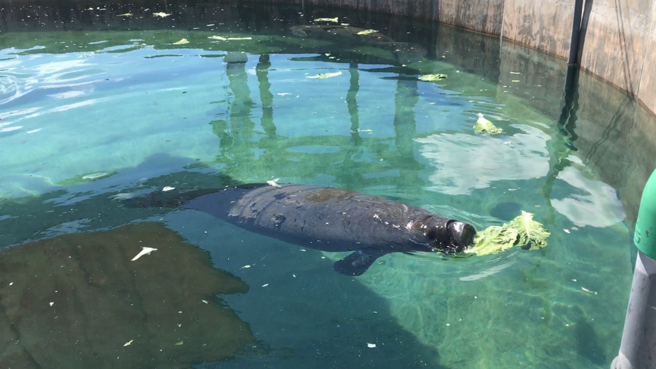 A boat badly injured a Keys manatee. Miami Seaquarium is nursing her back to health