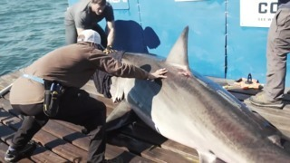 Researchers study great white sharks off Florida Keys