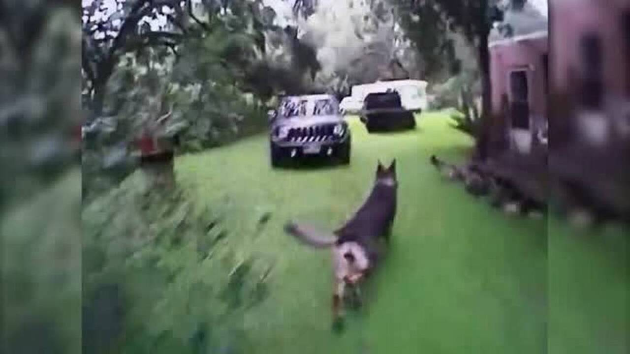 Bodycam video shows police dog chasing, catching suspect | Tacoma