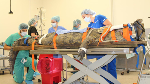 Crocodile has surgery to remove shoe from stomach