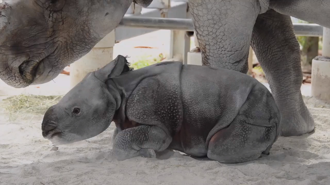 Here's a twist on a gender reveal — it involves an already born rhino and a toy ball