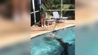 9-foot alligator takes swim in Florida pool