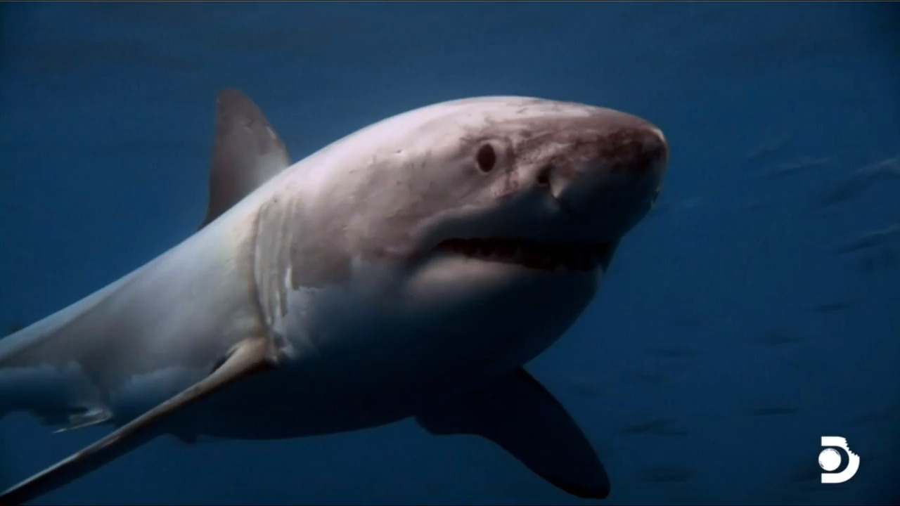 Miami expert co-stars with great whites during Shark Week