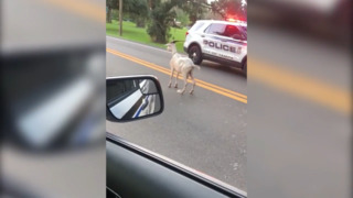 Watch Florida police officers wrangle escaped goat