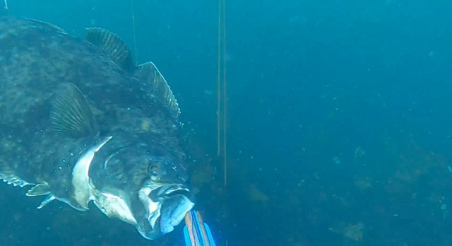 Big Halibut Comes After Spearfisherman
