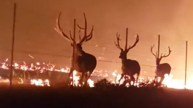 Giant Bull Elk Try to Escape Wildfire