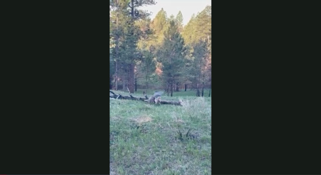 Coyote Attacks Janis' Turkey After Shot