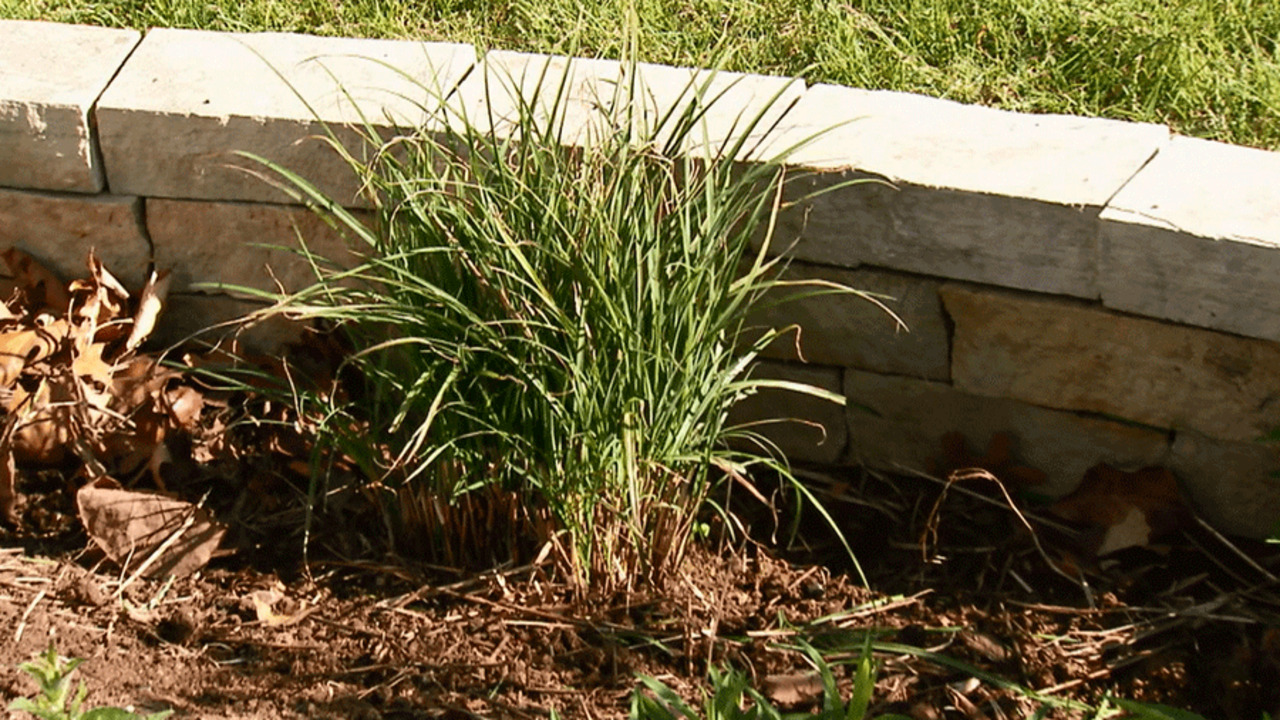 Divide Ornamental Grasses