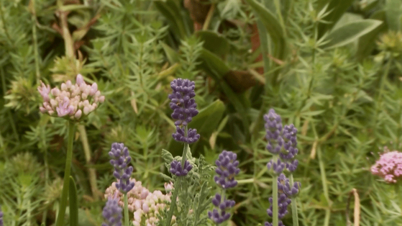 Video: More on Lavender