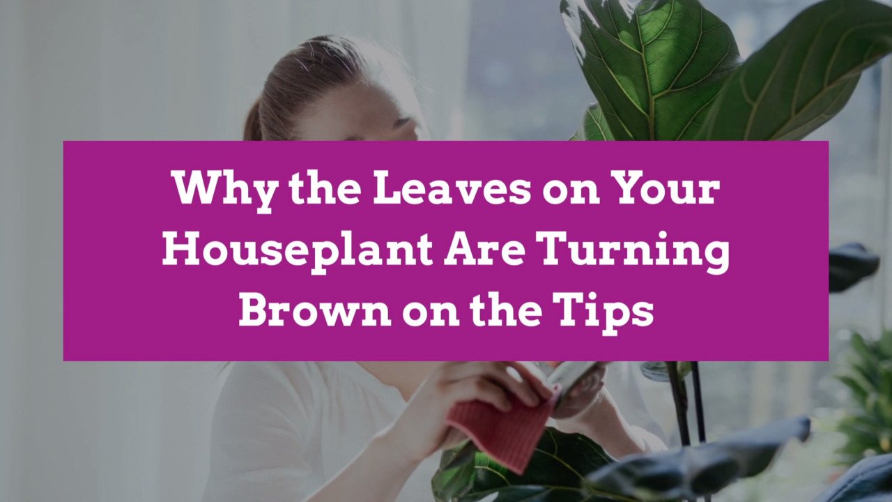 Why the Leaves on Your Houseplant Are Turning Brown on the Tips Brown Tips On Houseplants on brown decor ideas, brown before and after, brown lashes, brown concrete, brown artificial nails, brown italian shoes, brown tablescapes, brown examples, brown template, brown hair, brown swatches, brown styles, brown extensions, brown pedicure, brown ends, brown streaks, brown low lights, brown french nails, brown in italian, brown modern house,