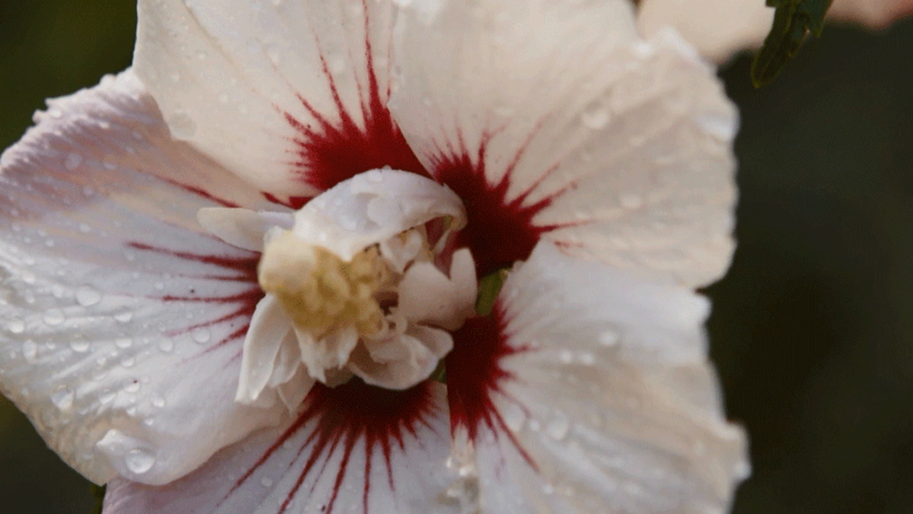Grow Hibiscus in Any Climate