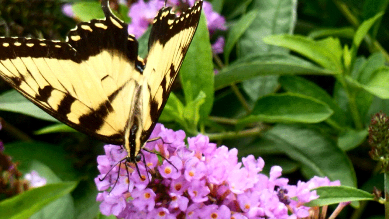 Top Plants for Butterfly Gardens
