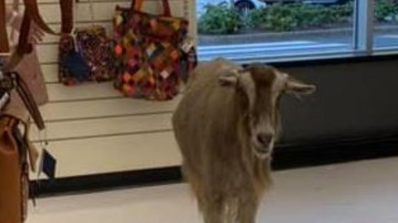 Ziege bekommt eine Einzelhandelstherapie