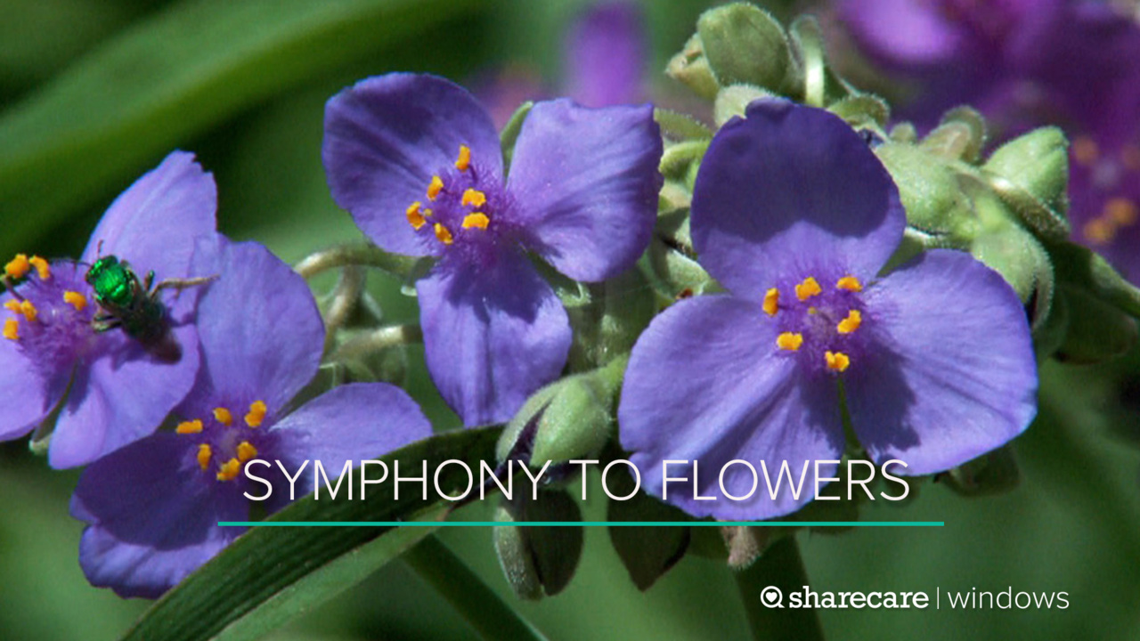 80 Minutes of Symphony to Flowers