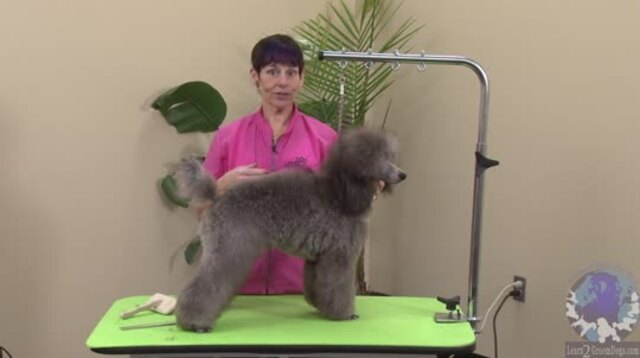 Thumbnail for Grooming a Miniature Poodle Show Puppy (Part 1 of 3-Part Series)