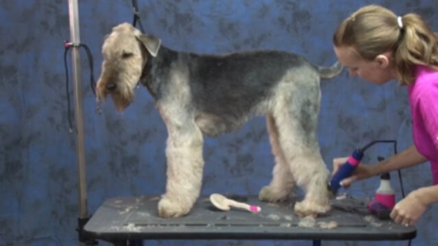 Thumbnail for Trimming the Legs & Undercarriage of a Pet Airedale Terrier