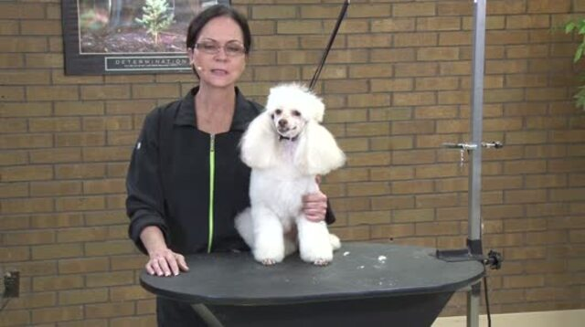 Thumbnail for Preparing a Poodle for Certification Testing or Contest Grooming (Part 1 of 3-Part Series: Blocking the Body with Guard Combs)
