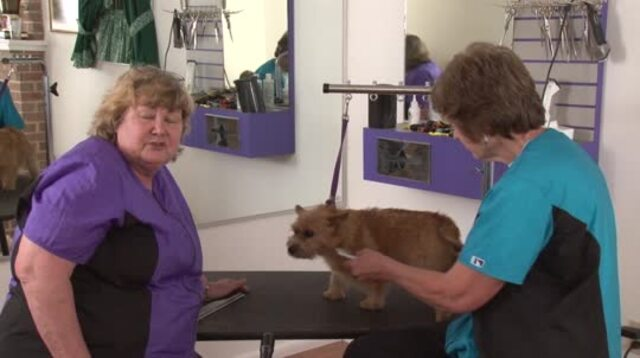 Thumbnail for Resurrecting a Blown Coat on a Norwich Terrier
