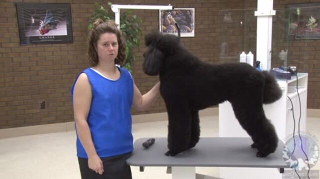 Thumbnail for Clipping the Face / Feet / Tail of the Standard Poodle