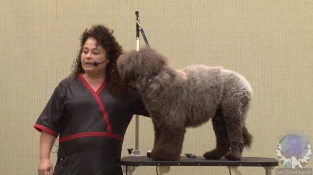 Thumbnail for The Convenience of a Lion Trim for a Pet Portuguese