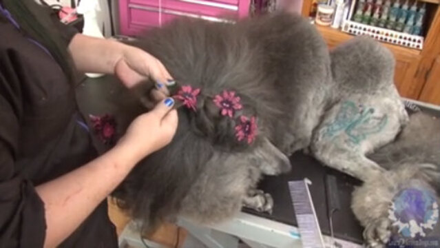 Thumbnail for Unique Braid Work on a Long Coated Dog